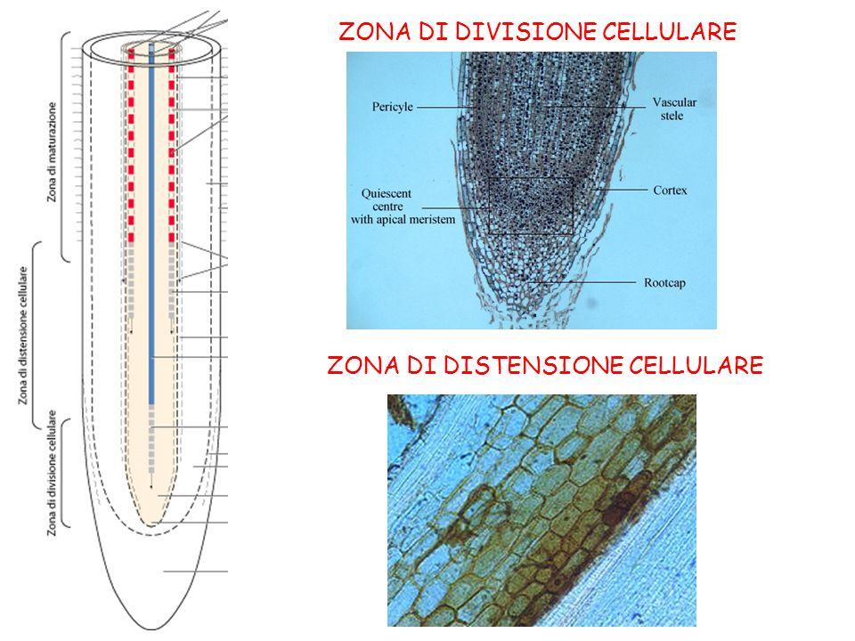 ZONA DI DIVISIONE CELLULARE