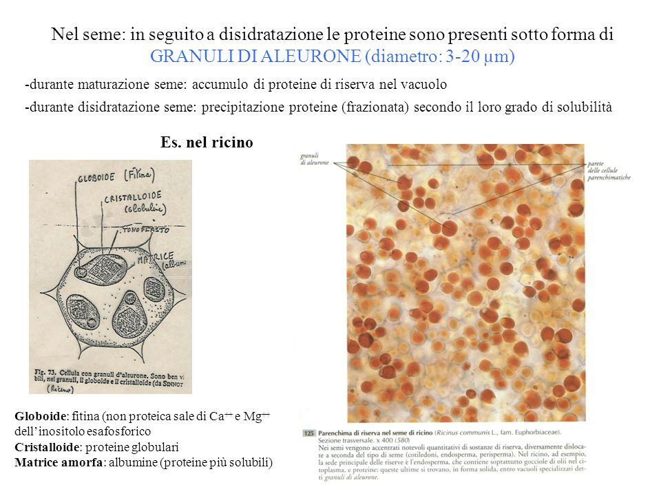 Nel seme: in seguito a disidratazione le proteine sono presenti sotto forma di GRANULI DI ALEURONE (diametro: 3-20 µm)