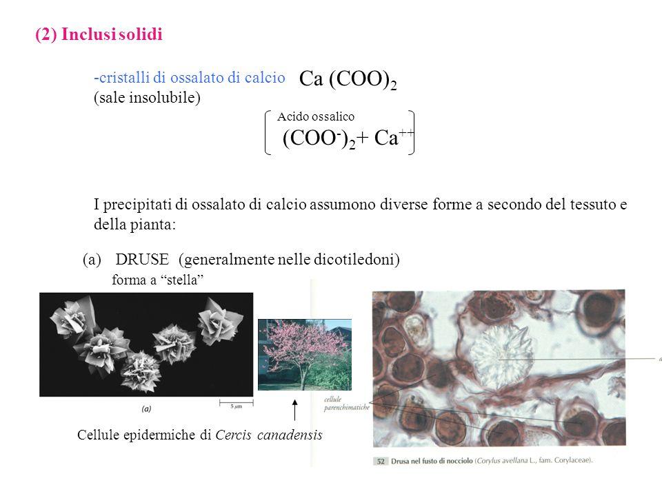 Ca (COO)2 (COO-)2+ Ca++ (2) Inclusi solidi
