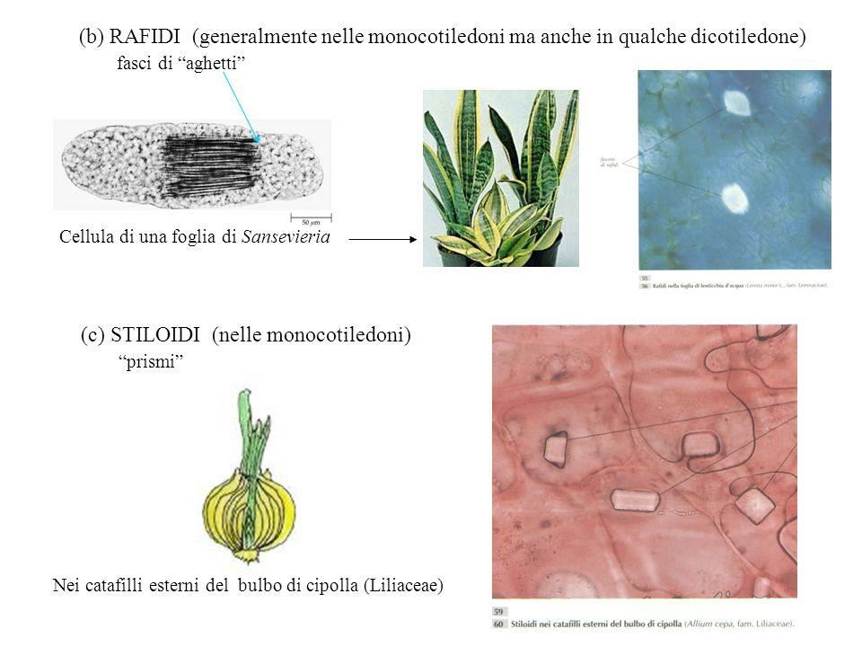 (c) STILOIDI (nelle monocotiledoni) prismi