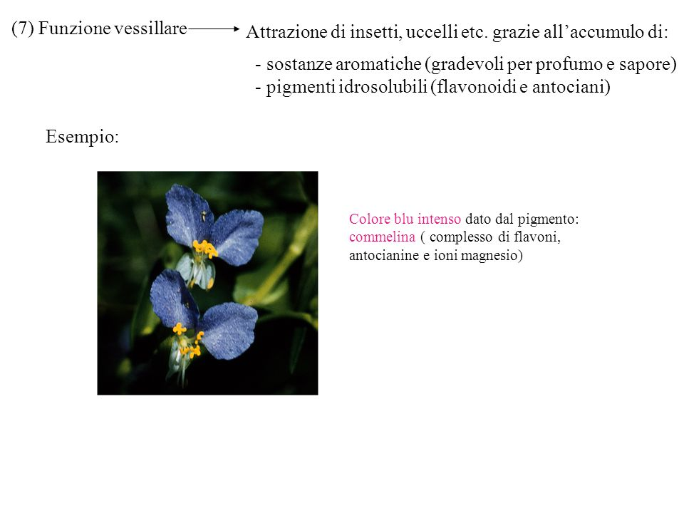 (7) Funzione vessillare