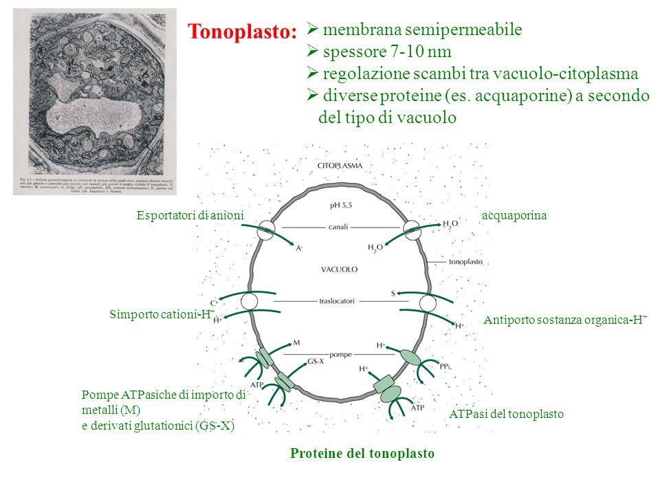 Tonoplasto: membrana semipermeabile spessore 7-10 nm