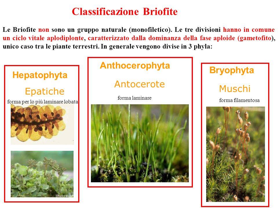 Classificazione Briofite