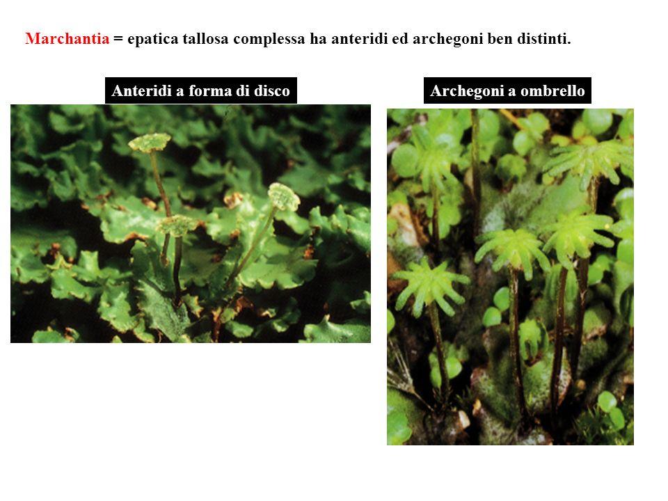 Marchantia = epatica tallosa complessa ha anteridi ed archegoni ben distinti.