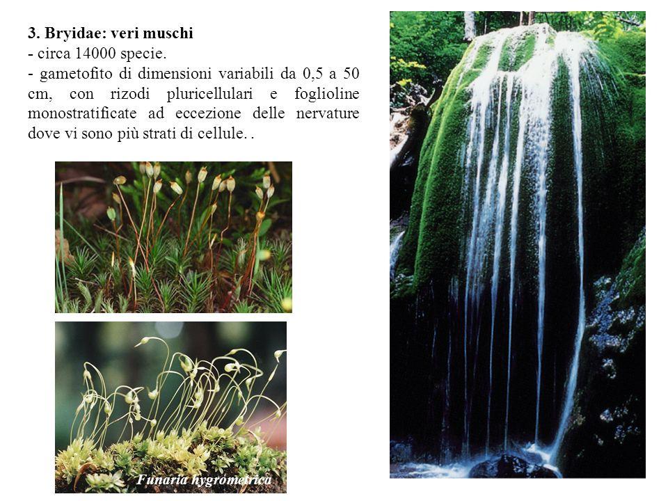 3. Bryidae: veri muschi - circa 14000 specie.