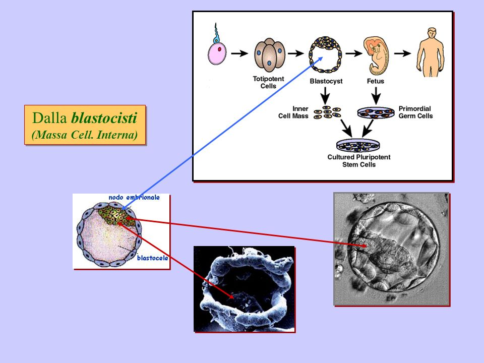 Dalla blastocisti (Massa Cell. Interna)