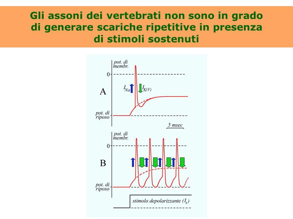 Gli assoni dei vertebrati non sono in grado di generare scariche ripetitive in presenza di stimoli sostenuti