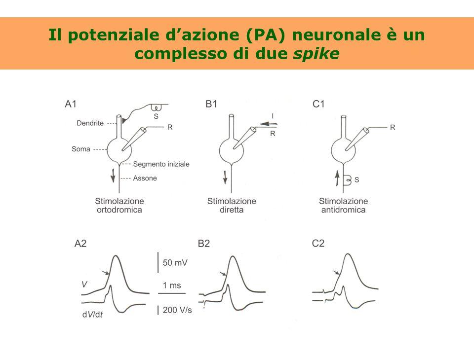 Il potenziale d'azione (PA) neuronale è un complesso di due spike