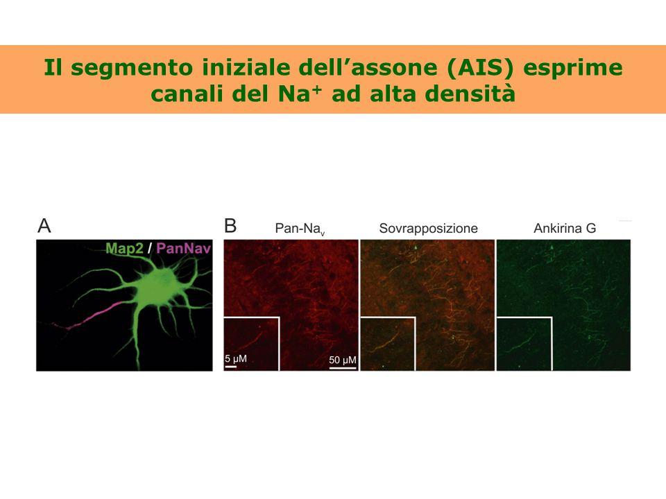 Il segmento iniziale dell'assone (AIS) esprime canali del Na+ ad alta densità