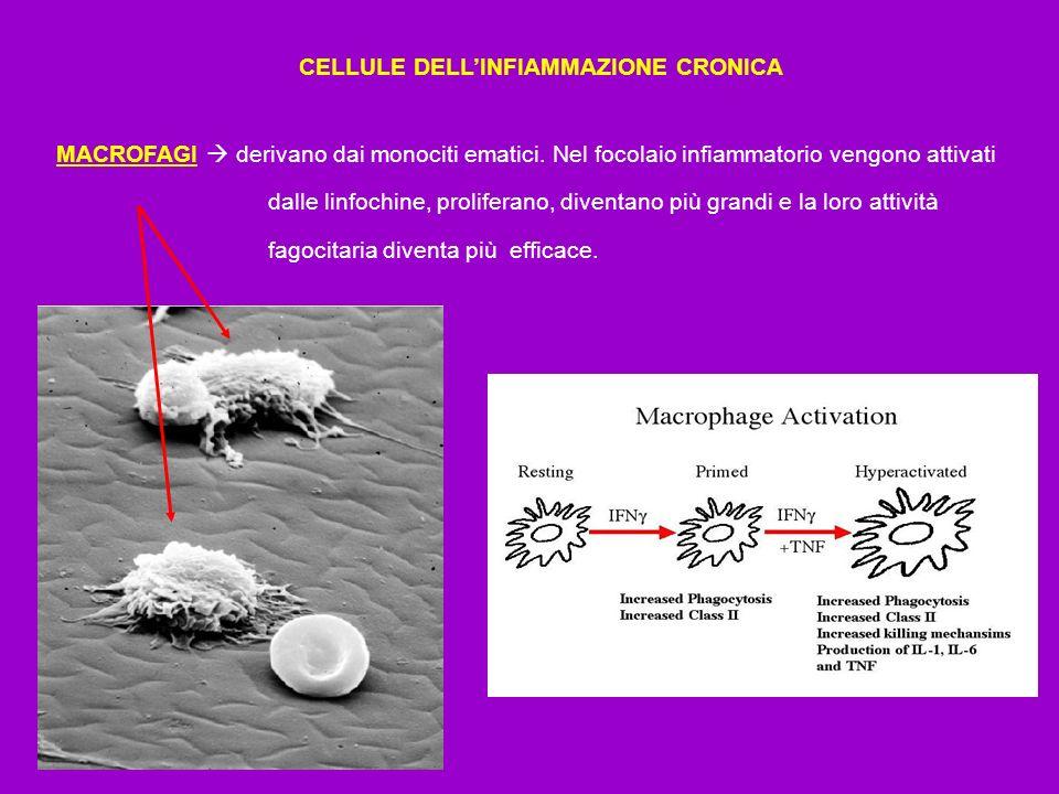 CELLULE DELL'INFIAMMAZIONE CRONICA