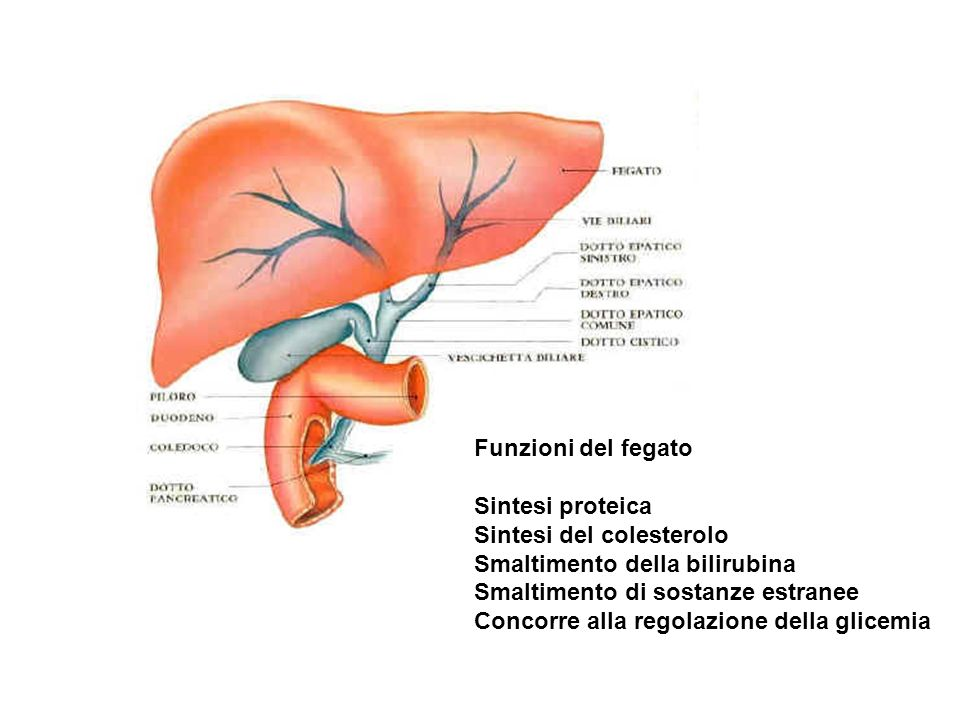 Funzioni del fegato Sintesi proteica. Sintesi del colesterolo. Smaltimento della bilirubina. Smaltimento di sostanze estranee.