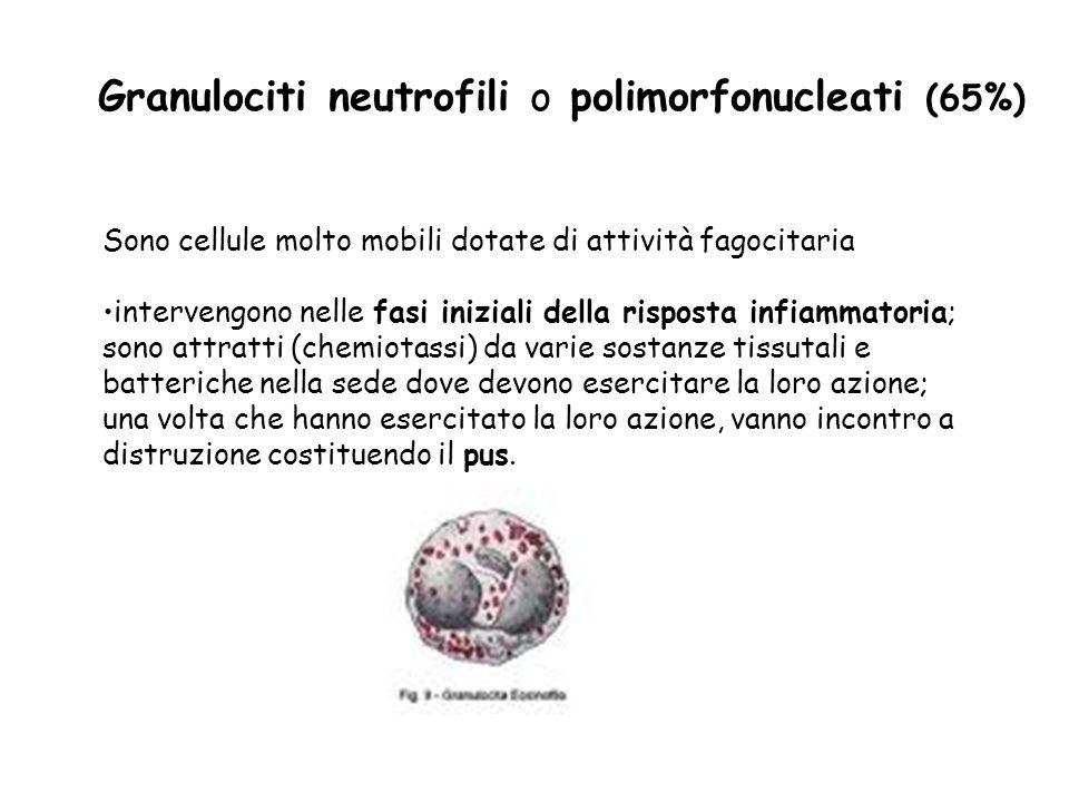Granulociti neutrofili o polimorfonucleati (65%)