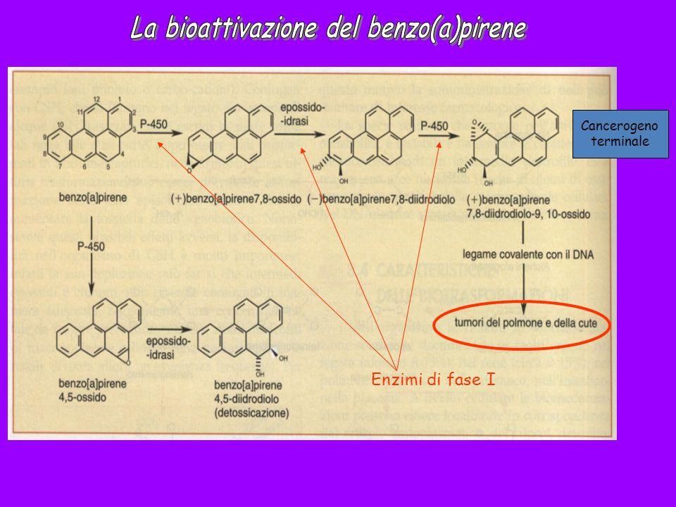 La bioattivazione del benzo(a)pirene