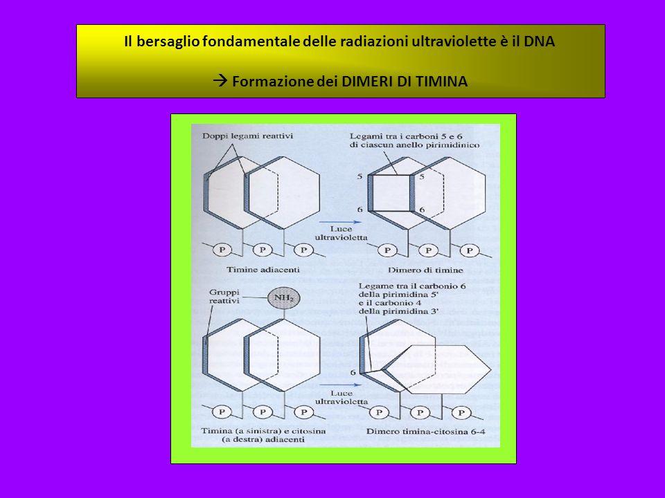 Il bersaglio fondamentale delle radiazioni ultraviolette è il DNA