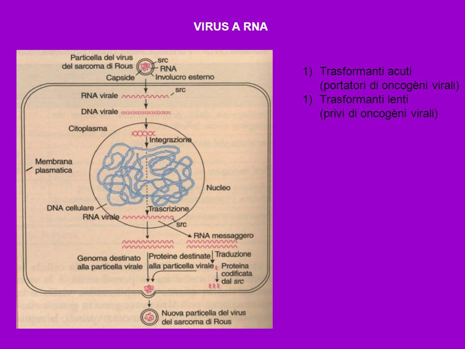 VIRUS A RNA Trasformanti acuti. (portatori di oncogèni virali) Trasformanti lenti.