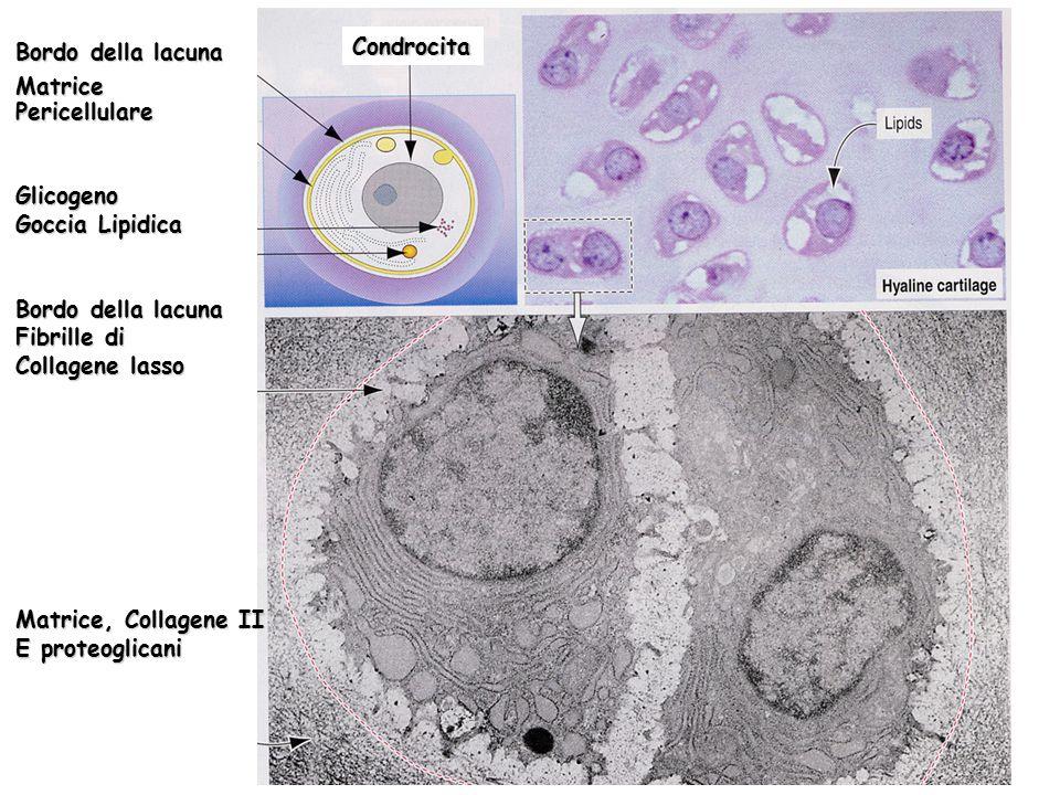 Bordo della lacuna Matrice. Pericellulare. Glicogeno. Goccia Lipidica. Fibrille di. Collagene lasso.
