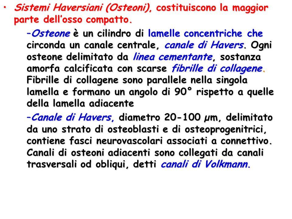 Sistemi Haversiani (Osteoni), costituiscono la maggior parte dell'osso compatto.