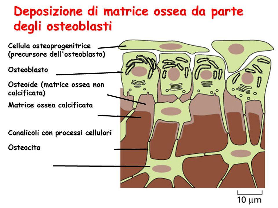 Deposizione di matrice ossea da parte degli osteoblasti