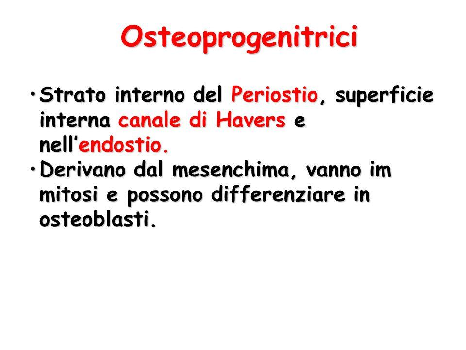 Osteoprogenitrici Strato interno del Periostio, superficie interna canale di Havers e nell'endostio.