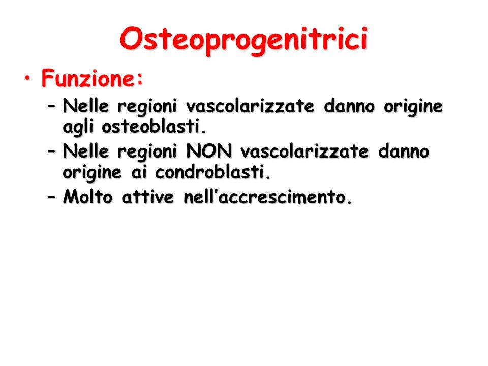 Osteoprogenitrici Funzione: