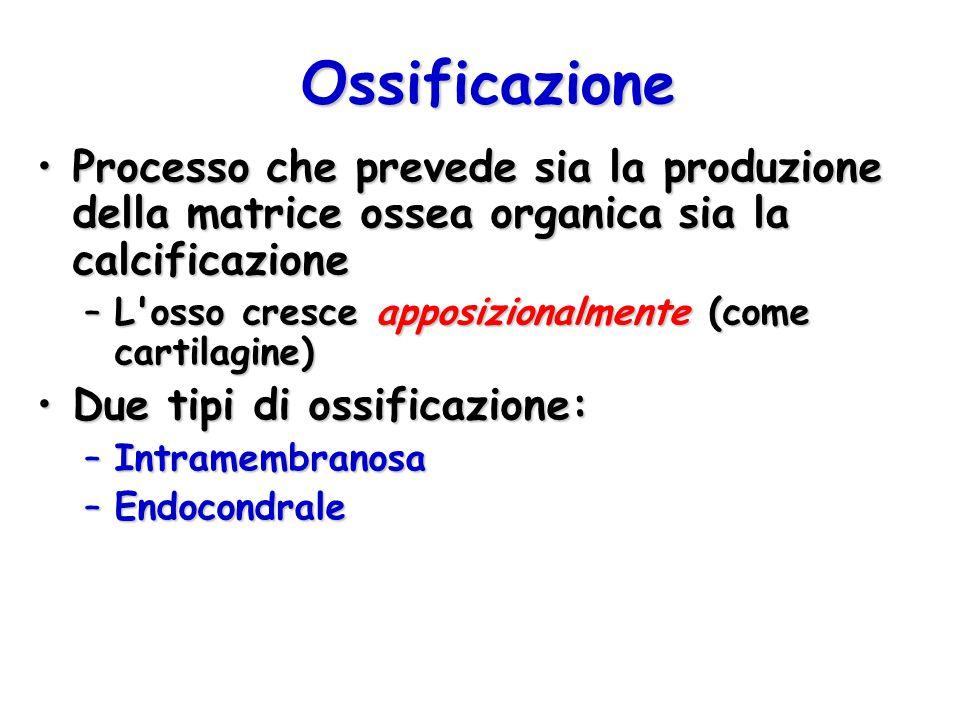 Ossificazione Processo che prevede sia la produzione della matrice ossea organica sia la calcificazione.