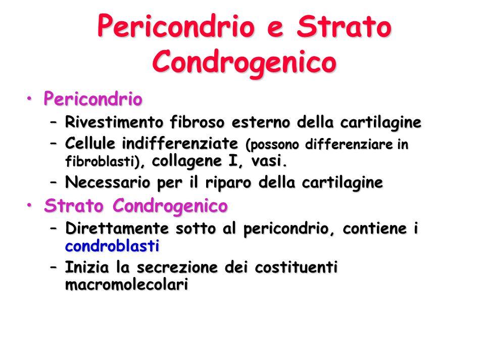 Pericondrio e Strato Condrogenico