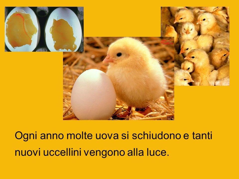 Ogni anno molte uova si schiudono e tanti nuovi uccellini vengono alla luce.