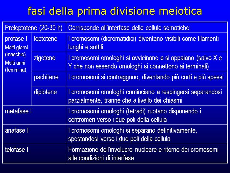 fasi della prima divisione meiotica