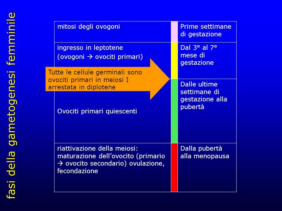 fasi della gametogenesi femminile