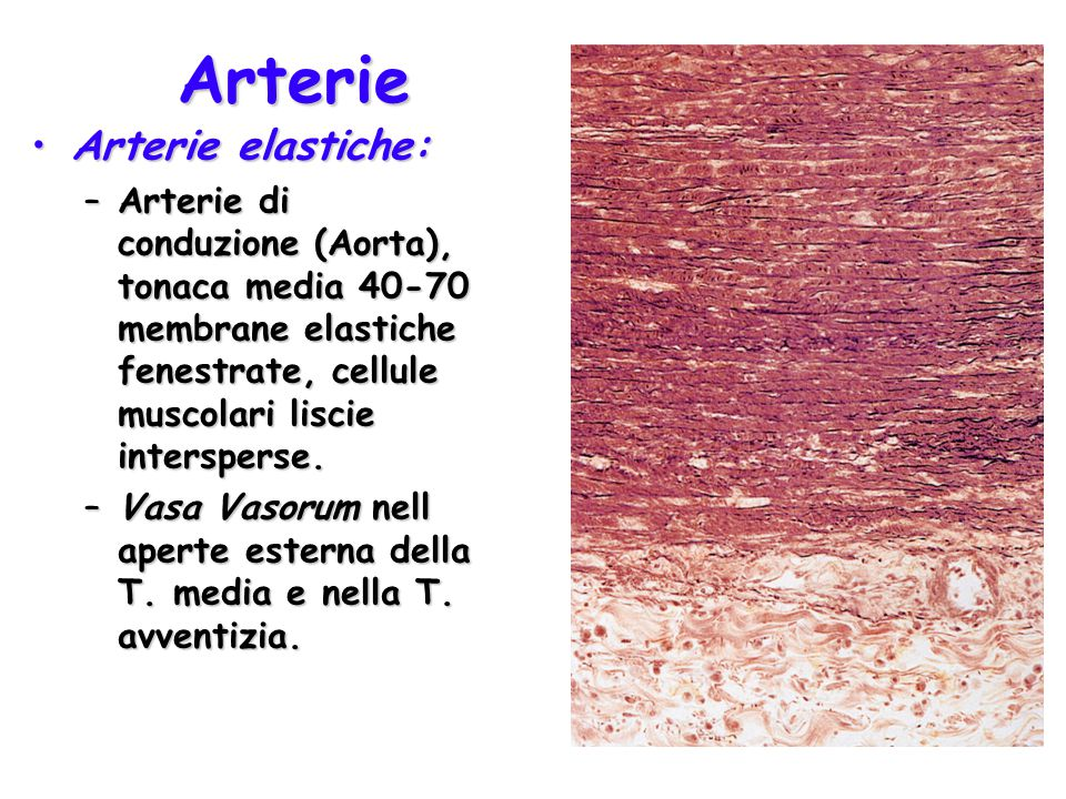Arterie Arterie elastiche: