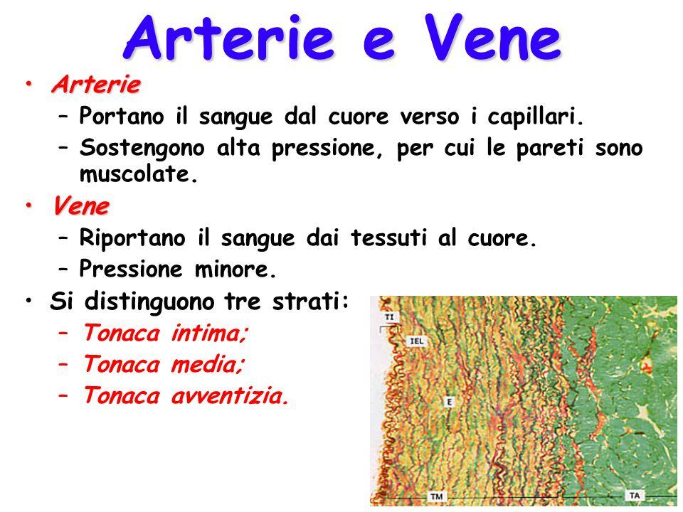 Arterie e Vene Arterie Vene Si distinguono tre strati: