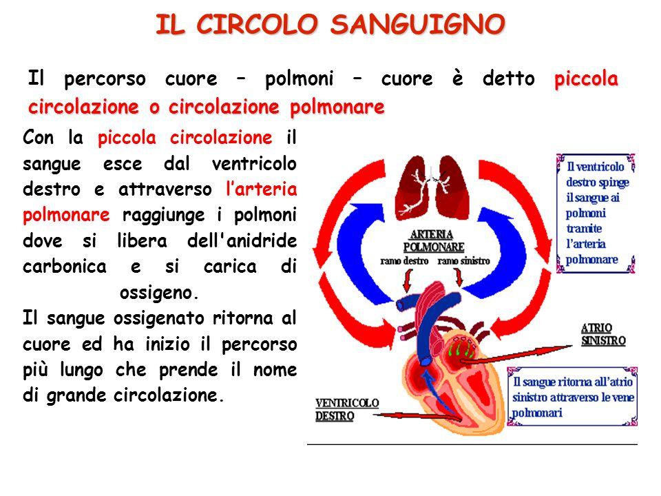 IL CIRCOLO SANGUIGNO Il percorso cuore – polmoni – cuore è detto piccola circolazione o circolazione polmonare.
