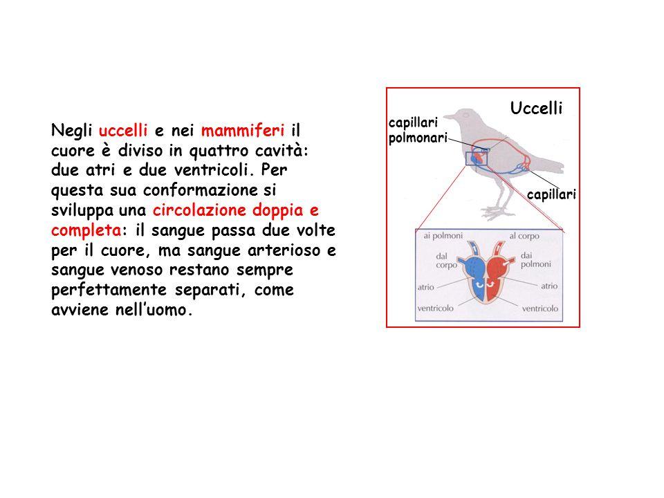 Uccelli capillari polmonari. capillari.