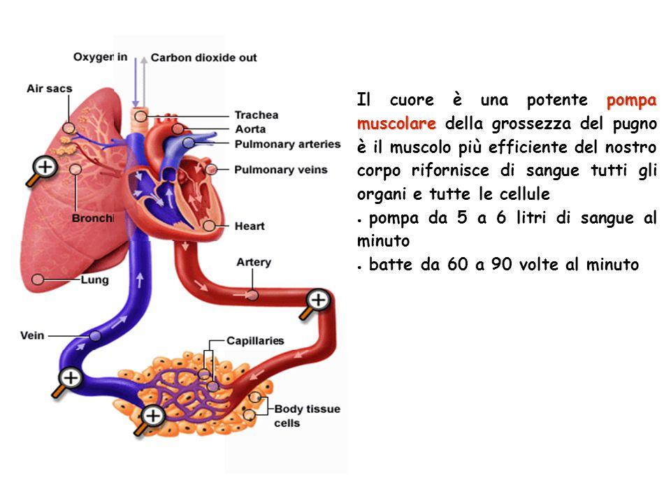 Il cuore è una potente pompa muscolare della grossezza del pugno è il muscolo più efficiente del nostro corpo rifornisce di sangue tutti gli organi e tutte le cellule