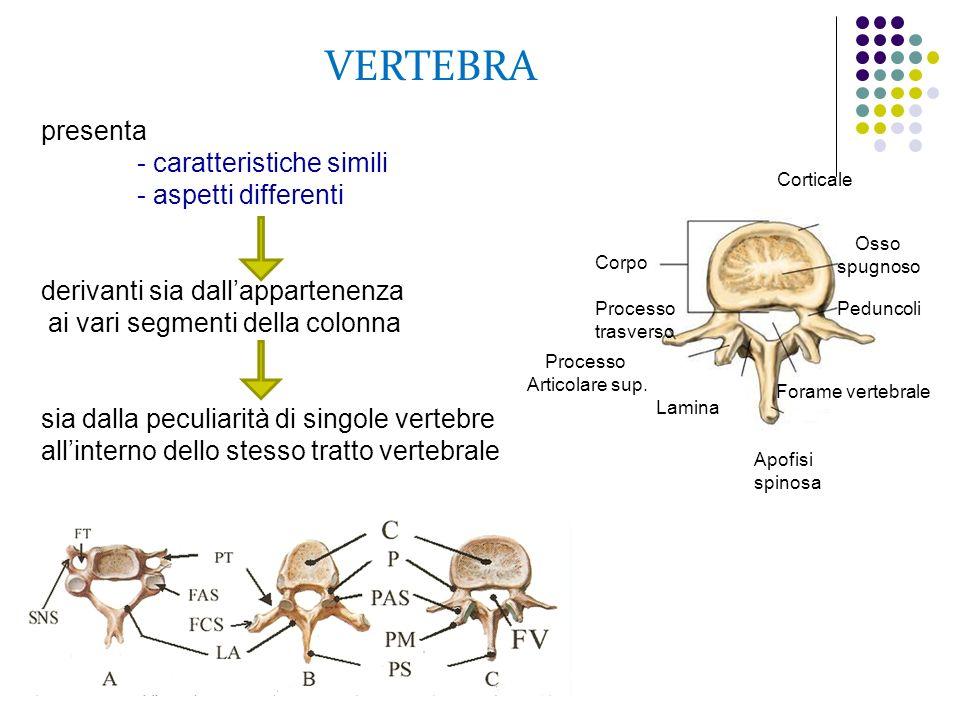 VERTEBRA presenta - caratteristiche simili - aspetti differenti