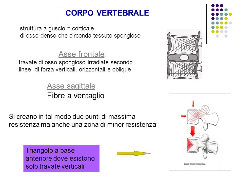 CORPO VERTEBRALE Asse frontale: Asse sagittale Fibre a ventaglio