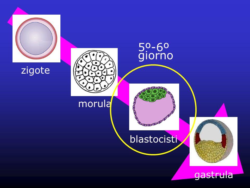 5º-6º giorno zigote morula blastocisti gastrula