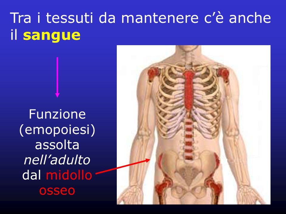 Funzione (emopoiesi)assolta nell'adulto dal midollo osseo