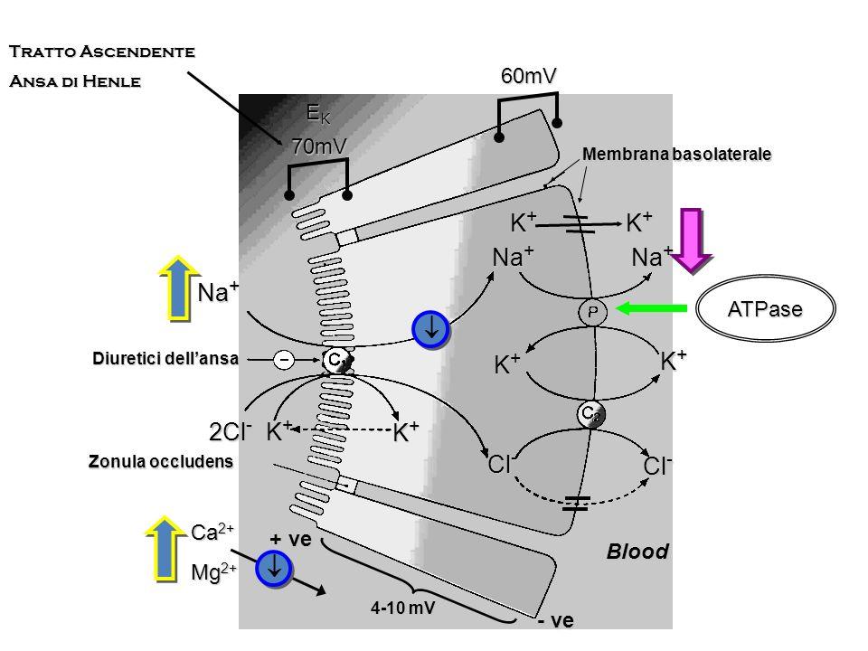 K+ K+ Na+ Na+ Na+  K+ K+ 2Cl- K+ K+ Cl- Cl-  60mV EK 70mV ATPase