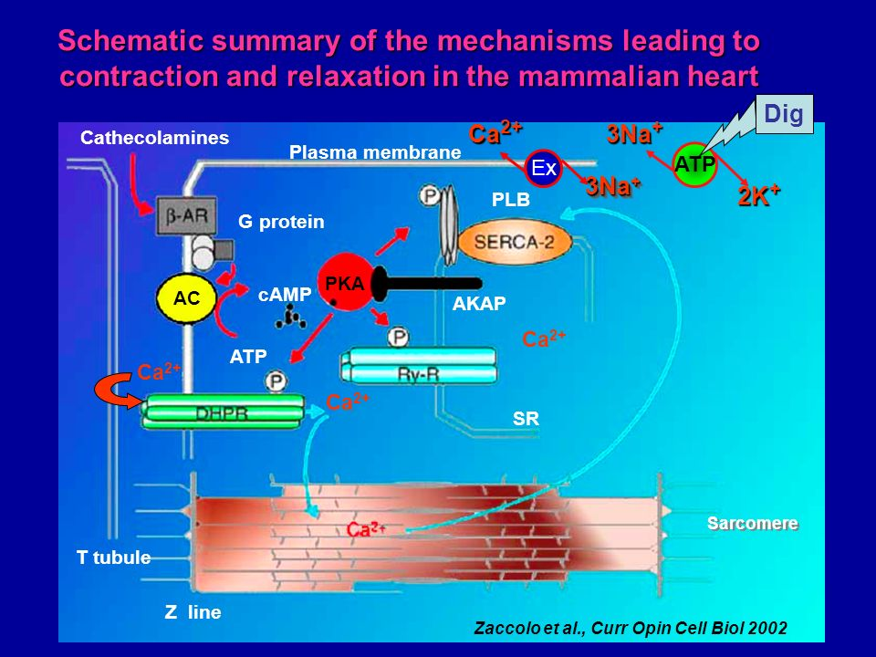 Schematic summary of the mechanisms leading to contraction and relaxation in the mammalian heart