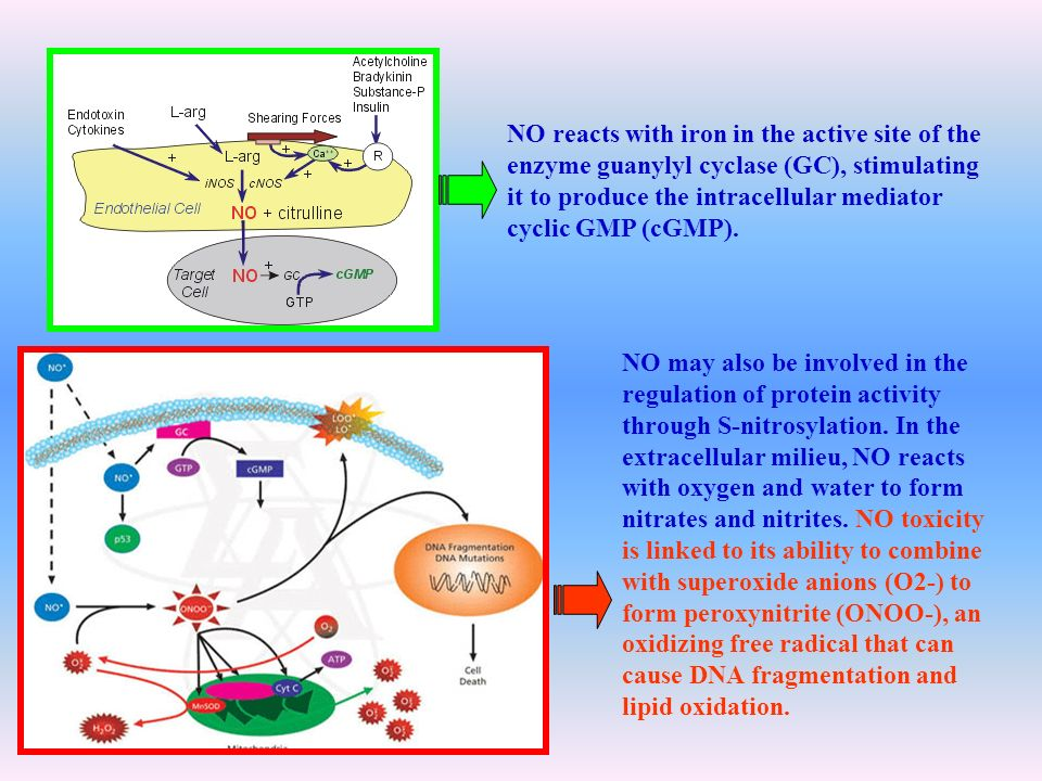 NO reacts with iron in the active site of the enzyme guanylyl cyclase (GC), stimulating it to produce the intracellular mediator cyclic GMP (cGMP).