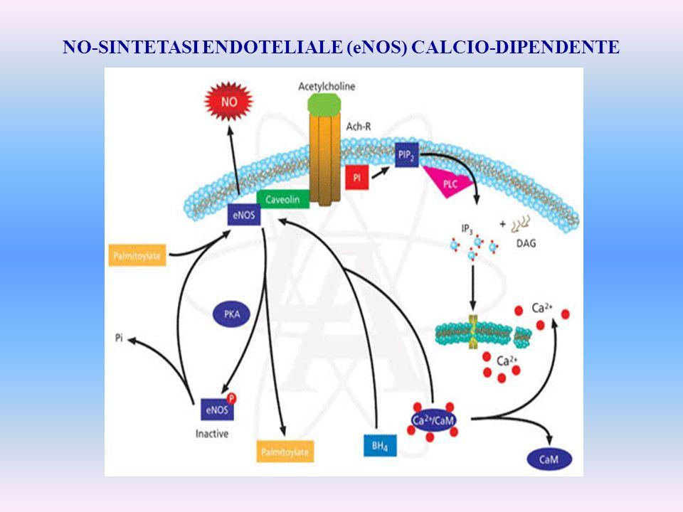 NO-SINTETASI ENDOTELIALE (eNOS) CALCIO-DIPENDENTE