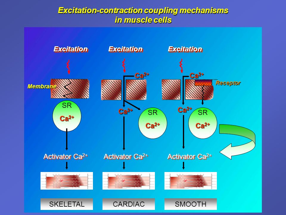 Excitation-contraction coupling mechanisms in muscle cells