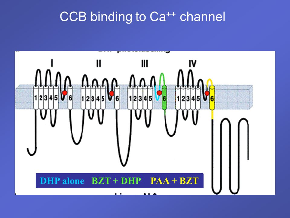 CCB binding to Ca++ channel