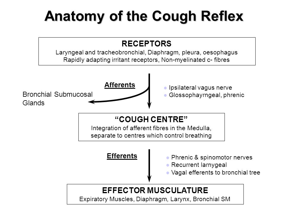 Anatomy of the Cough Reflex