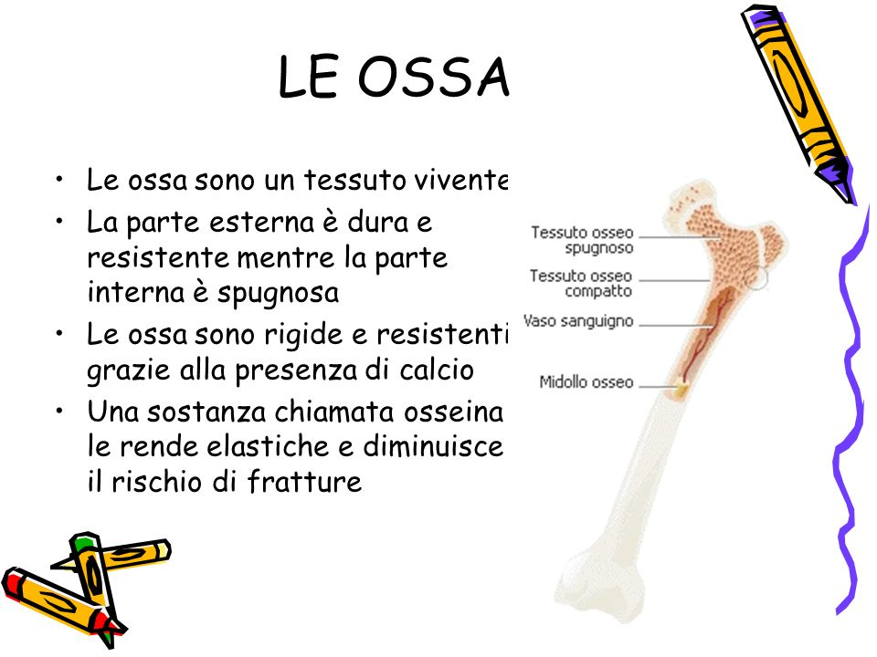 LE OSSA Le ossa sono un tessuto vivente
