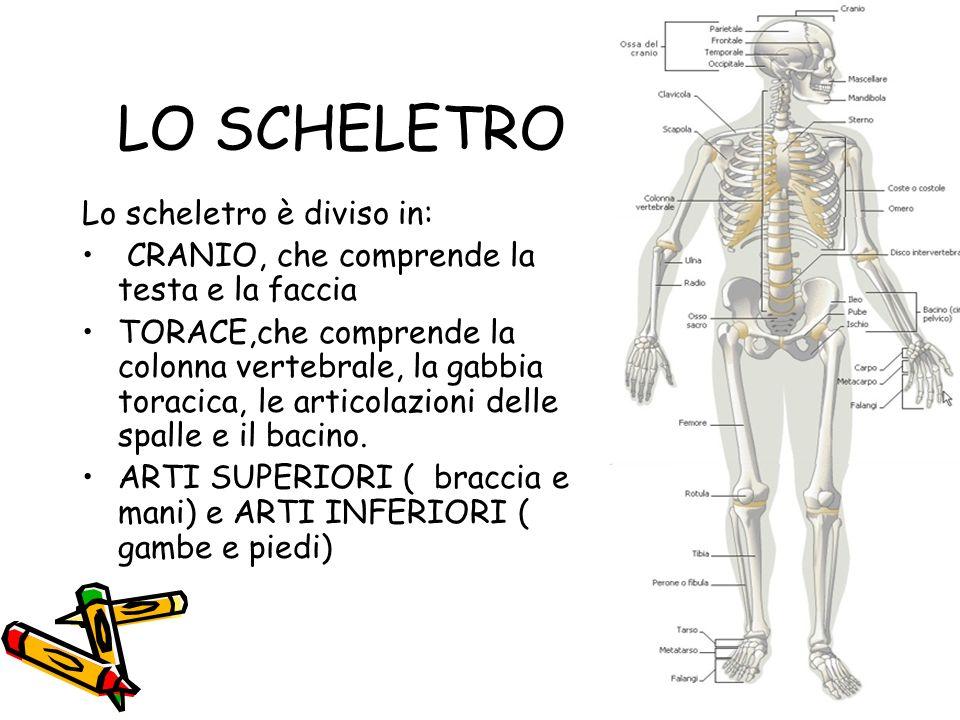 LO SCHELETRO Lo scheletro è diviso in: