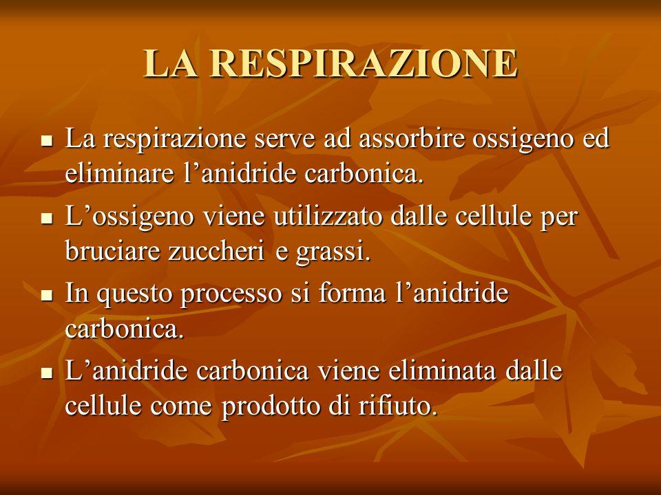 LA RESPIRAZIONE La respirazione serve ad assorbire ossigeno ed eliminare l'anidride carbonica.