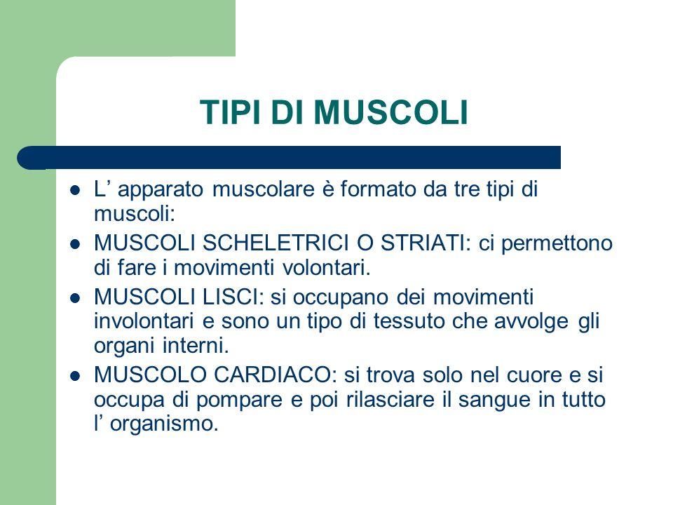 TIPI DI MUSCOLI L' apparato muscolare è formato da tre tipi di muscoli: MUSCOLI SCHELETRICI O STRIATI: ci permettono di fare i movimenti volontari.
