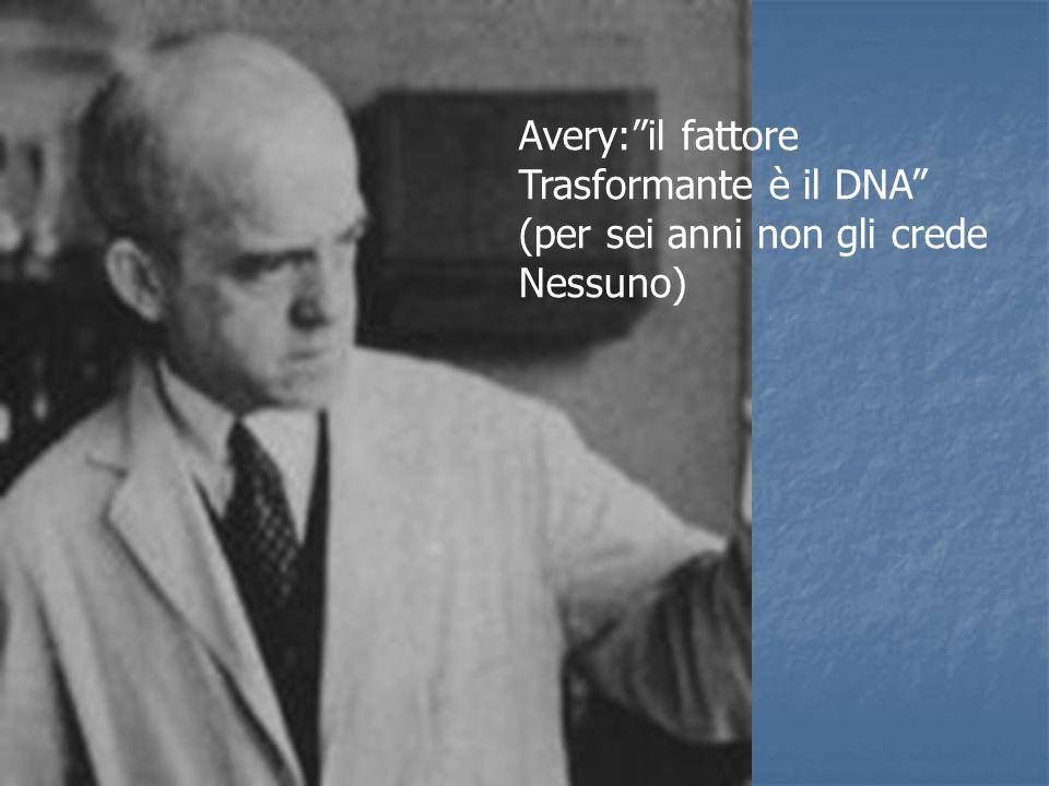 Avery: il fattore Trasformante è il DNA (per sei anni non gli crede Nessuno)